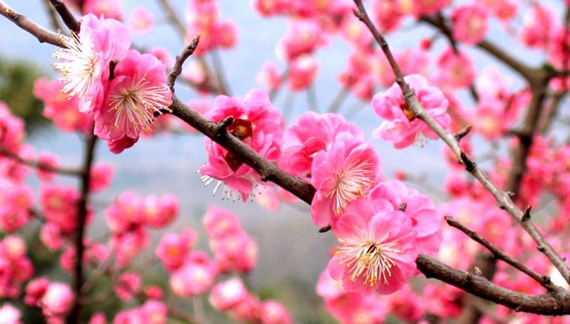 ความแตกต่าง ชมพูพันธุ์ทิพย์ ซากุระ ดอกซากุระ ดอกท้อ ดอกบ๊วย ดอกไม้