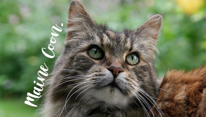 ทาสแมว เรื่องน่ารู้ แมวเมนคูน