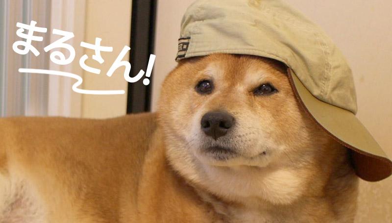 ชิบะ มารุ สุนัขพันธุ์ชิบะ หมา