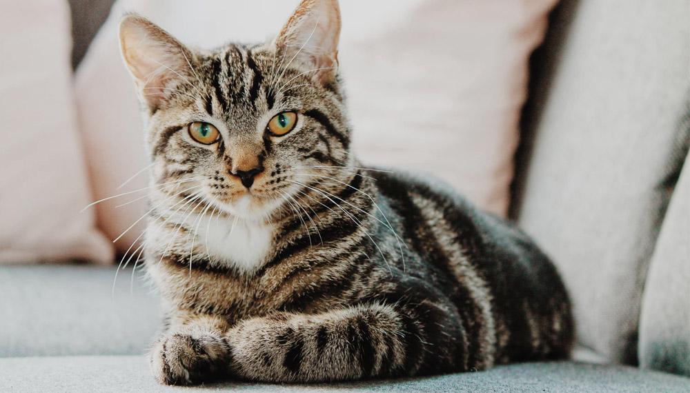 วันสำคัญสากล วันแมวโลก สัตว์เลี้ยง เดือนสิงหาคม แมว