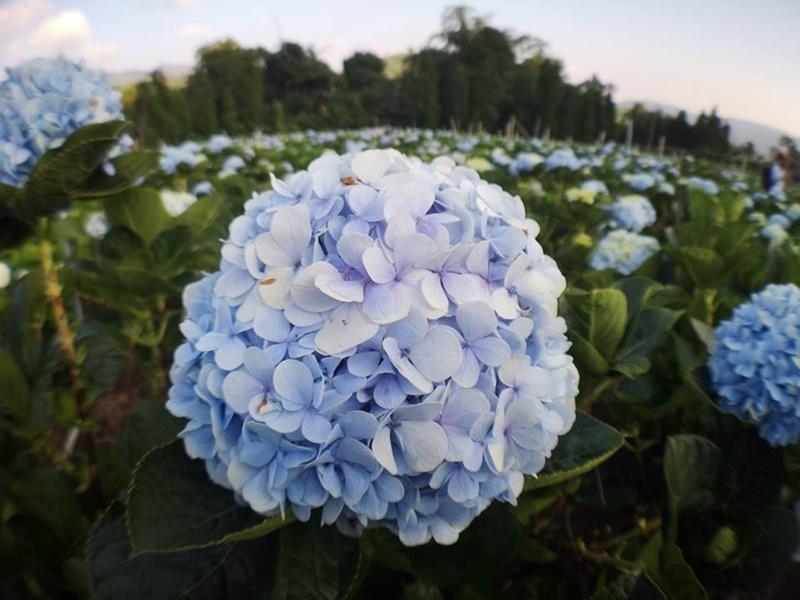 ทุ่งดอกไฮเดรนเยีย ขุนแปะ จ.เชียงใหม่