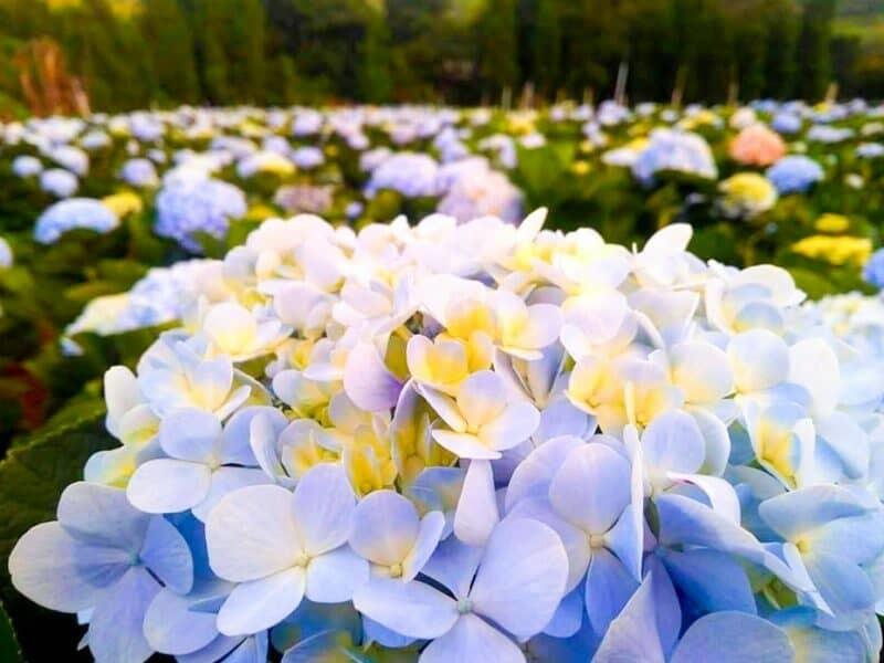 ทุ่งดอกไฮเดรนเยีย โครงการหลวงขุนแปะ