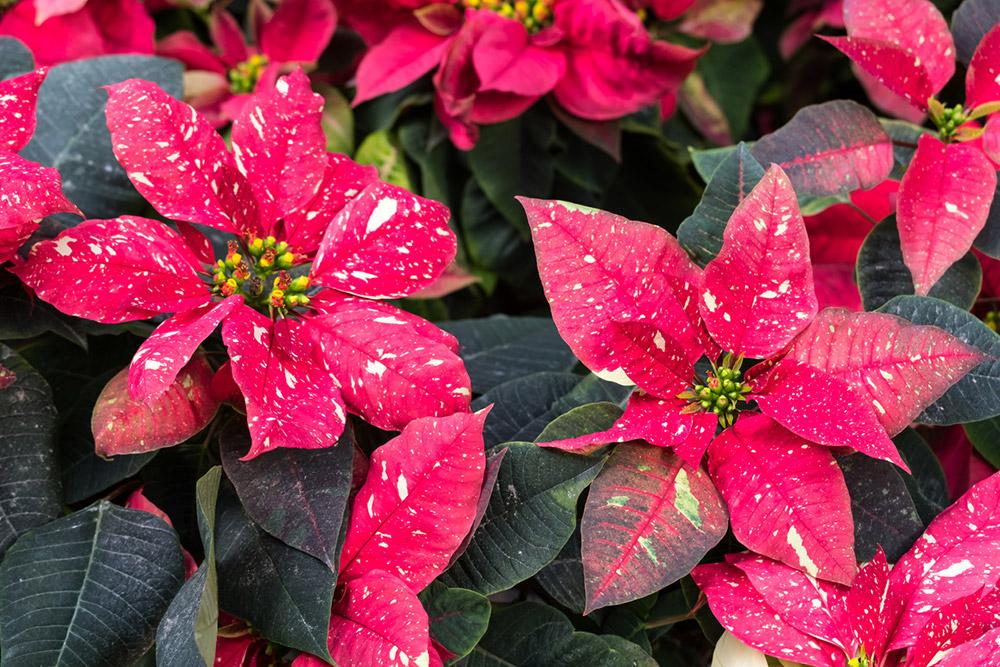 Christmas star, Poinsettia - ต้นคริสต์มาส