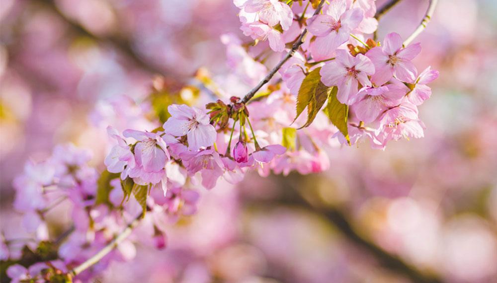 ดอกซากุระ เที่ยวญี่ปุ่น
