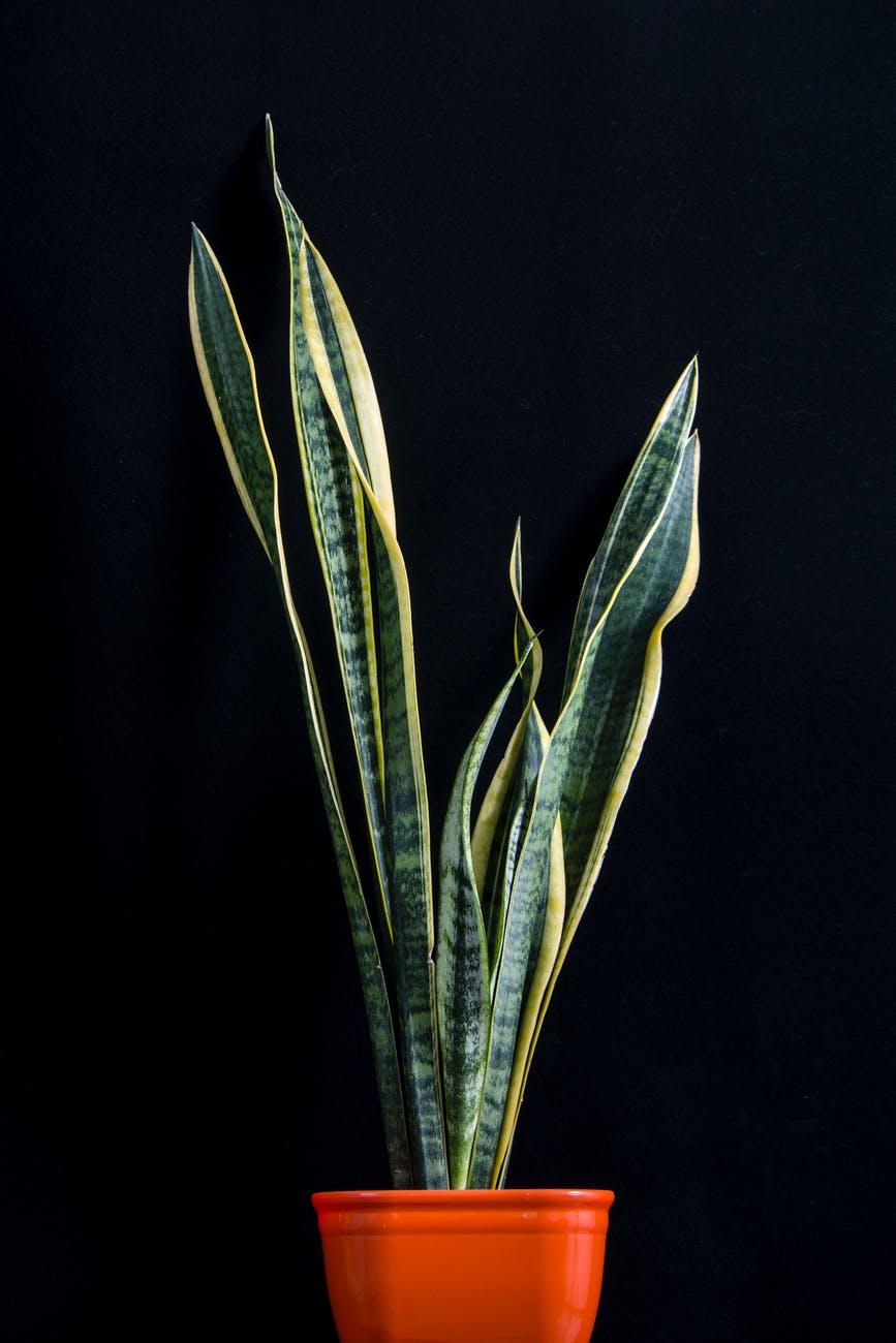 เทคนิคการปลูกและดูแลต้นลิ้นมังกร