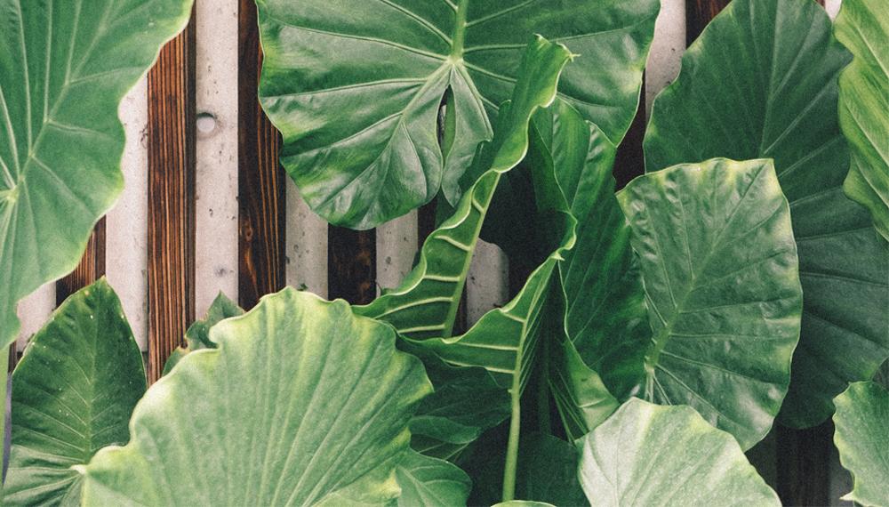 พืชตระกูลบอนบางชนิดเป็นพิษ