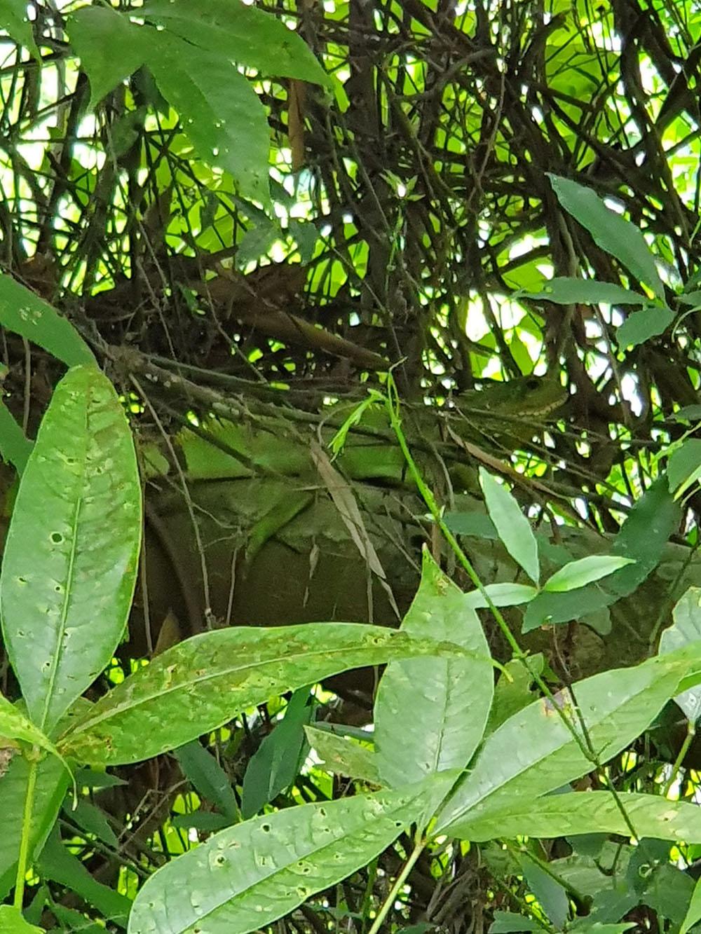 ตะกอง หรือมังกรน้ำแห่งอินโดจีน