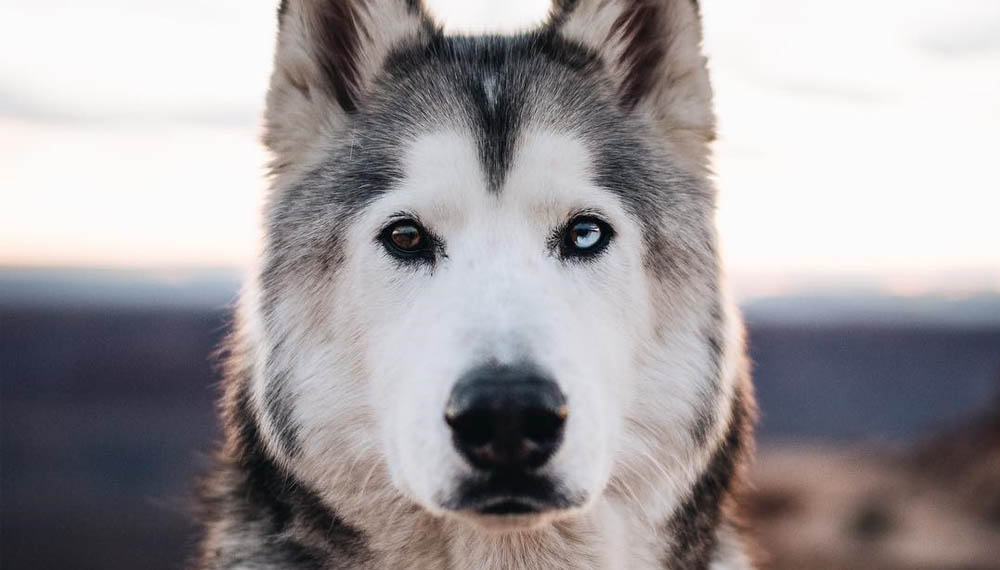 หมา หล่อ ไซบีเรียน