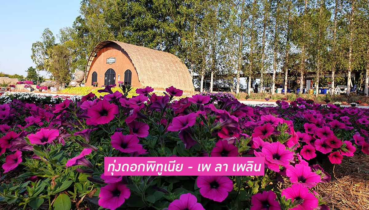 ดอกพิทูเนีย ท่องเที่ยว ทุ่งดอกไม้ เที่ยวบุรีรัมย์ เพ ลา เพลิน