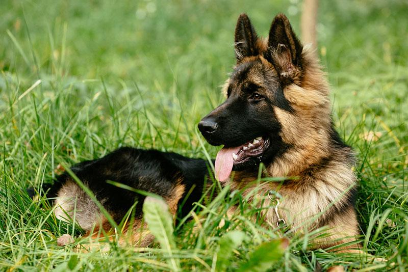German Shepherd น้องหมากับโรคข้อสะโพกเสื่อม